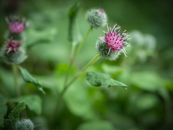 Great Burdock